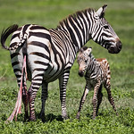 A newborn plains zebra (Equus quagga). Its mother was still expelling the remainder of the umbilical cord and afterbirth. Taken in the Ngorongoro Crater, Tanzania, Africa.