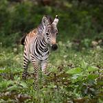 A baby plains zebra (Equus quagga). Taken in the Ngorongoro Crater, Tanzania, Africa.